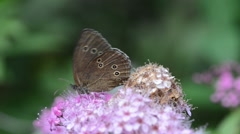 Brown Ringlet Butterfly on Spiraea bush Stock Footage