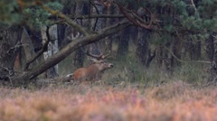 Red Deer stag lying down Stock Footage