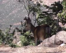 Mule deer (Odocoileus hemionus) buck on the edge of the Grand Canyon north rim Stock Footage