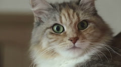 Siberian breed cat on a gray background. Close up. SESSION KEYWORD: uzhurskycats Stock Footage