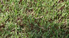 Army Worm on Lawn Stock Footage