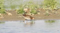 Various water birds feeding near shore Stock Footage