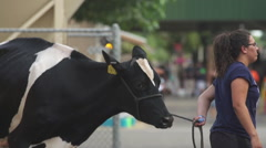 Girl Walking Cow at the County Fair at 240 fps Stock Footage