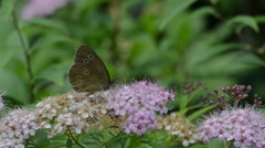 Ringlet Butterfly on Spiraea bush Stock Footage