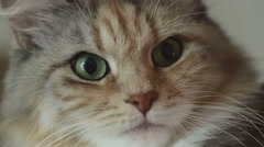 Siberian breed cat with green eyes. Close up. SESSION KEYWORD: uzhurskycats Stock Footage