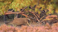Red Deer stag and hinds grazing Stock Footage