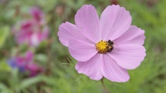 Bee Insect Flies Around Large Pink Flower Collecting Pollen Stock Footage