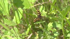 Tyria jacobaeae, Cinnabar moth caterpillar feeding on leaf Stock Footage