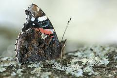 Close view of a red admiral butterfly Stock Photos