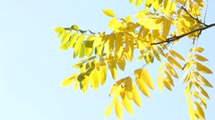 Twig of ash tree with yellow leaves swaying in the wind Stock Footage
