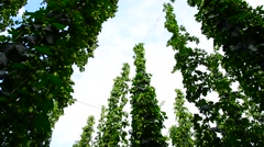 Hop garden, zoom in, Stock Footage