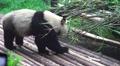 Panda Climbing Ontop Of A Pile Of Bamboo 01 HD Footage