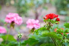 Geranium flowers in the garden Stock Photos