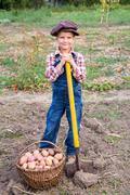 Boy harvesting potatoes in garden Stock Photos