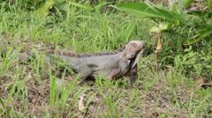 Iguana Crawling through Grass Stock Footage
