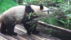 Panda Climbing Ontop Of A Pile Of Bamboo 01 4K Stock Footage