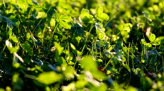 Green Irish clover leafs in the forest Stock Footage
