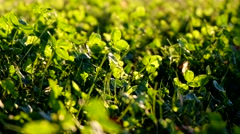 Beautiful green clover closeup - st Patrick day concept - 17 march Stock Footage