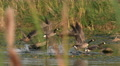 Geese, Canada Geese, Birds, Fly, Flight, Flying, 4K, UHD Footage