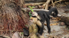 Puppy white-headed capuchin, Cebus,  white-faced Stock Footage