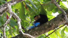 White-headed capuchin, Cebus,  white-faced eat junk food Stock Footage
