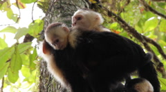 White-headed capuchin, Cebus,  white-faced with puppy Stock Footage