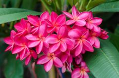 pink frangipani - stock photo