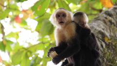 White-headed capuchin, Cebus,  white-faced - with puppy Stock Footage