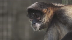 Portait of a spider monkey Stock Footage