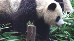 Panda Walking Across Pile Of Bamboo 4K Stock Footage