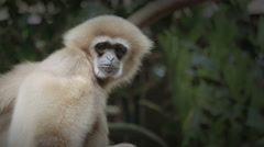 White Handed Gibbon from the Indomalaya region Stock Footage