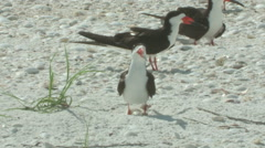 Black skimmer with baby a Stock Footage