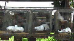 Minks in cage Stock Footage
