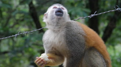 Squirrel monkey eating banana from human Stock Footage