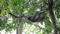 Three-Toed Sloth Climbing Trees Stock Footage