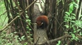 Red Panda Cleaning Licking Itself In Green Forest 4k 4k or 4k+ Resolution