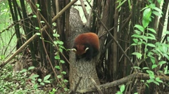 Red Panda Cleaning Licking Itself In Green Forest 4k Stock Footage