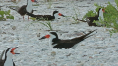 Black skimmers change of shift a Stock Footage