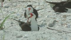 Black skimmer baby plays a Stock Footage