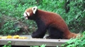 Red Panda Eating Fruit In Green Forest On Wood Platform HD Footage