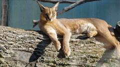 Сaracal cat. Stock Footage