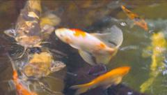 Koi Carps Fish Japanese swimming (Cyprinus carpio). Stock Footage