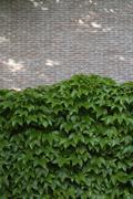 Facade greenery with woodbine, Parthenocissus tricuspidata - stock photo