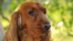 Close-up of interested English Cocker Spaniel in nature, sitting, dog Stock Footage