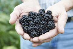 close up of man holding freshly picked blackberries - stock photo