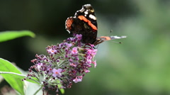 red admiral - stock footage
