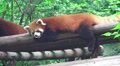 Red Panda Hangs Out On Wood Shelter HD Footage