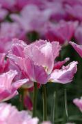 Netherlands, Holland, Keukemhof, Tulip bed, Pink tulip, Tulipa Stock Photos