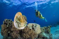 Oceania, Palau, Diver watching Palau nautilus, Nautilus belauensis, in Pacific Stock Photos