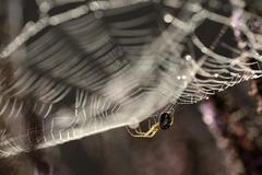 Garden spider, Araneus diadematus, hanging at spider's net Stock Photos